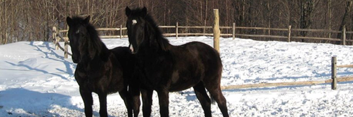two black draft cross fillies
